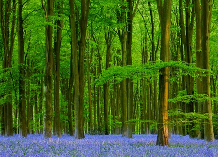 beautiful woodland: Spring Sunshine in a Bluebell Wood
