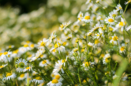 chamomile flower: White chamomile field with nice flower background Stock Photo