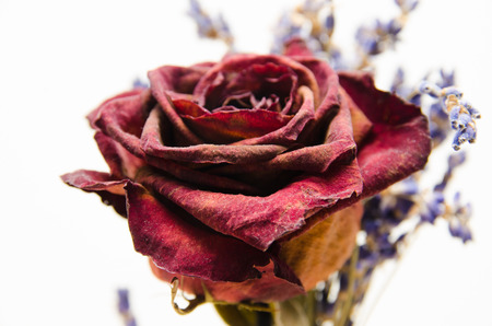 signifies: Dried rose isolated on white background. Close-up macro valentine day. Signifies lost love, divorce, or a bad relationship