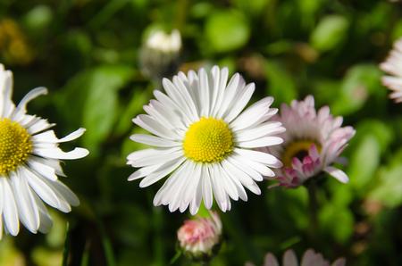 margarite: Macro close up beautiful daisy flowers