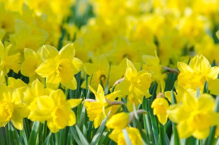 Sluit omhoog macro mooie gele gele narcissen Stockfoto