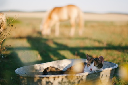 washbowl: Tricolor cat in old metal washbowl. Horse in blurry background. Lying cat in rusty washbasin at sunset.