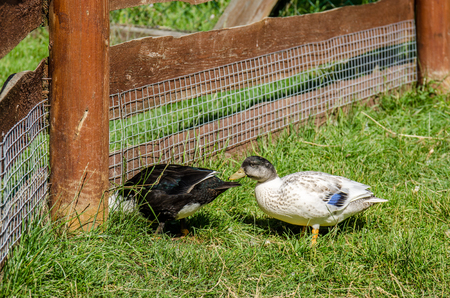 color image mallard duck: Countryside scene with ducks. Animals behind fence in the village. Stock Photo