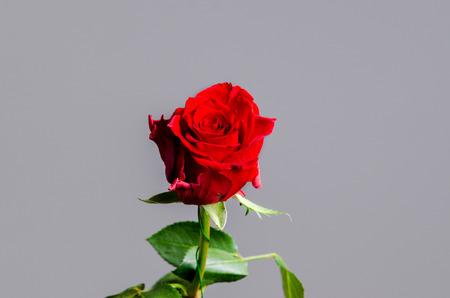 Romantische valentijn rode roos op geïsoleerde grijze achtergrond. Enkele natuurlijke bloesem voor feest of als aanwezig. Stockfoto