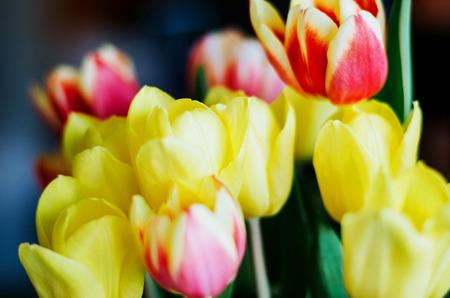 カラフルなチューリップの花束。お祝いやプレゼントとしての自然の花。ソフトの背景。 写真素材