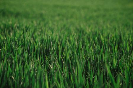 春の緑の草を閉じます。穀物およびトウモロコシ畑と美しい風景。