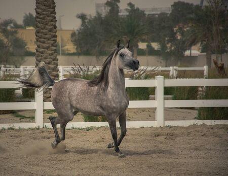 Gray Arabian horse running and galloping on the training ground of Bait Al Arab, Kuwait.
