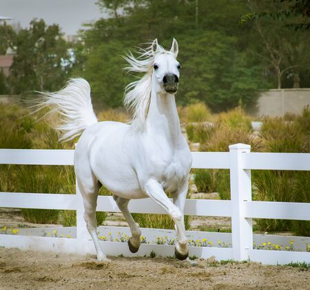 Arabian horse in a white colour running and practicing in a paddock which has white fences.