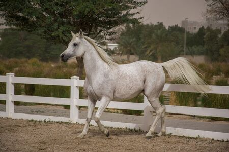 White coloured purebred andalusian horse with long mane galloping across sand surface. Banque d'images