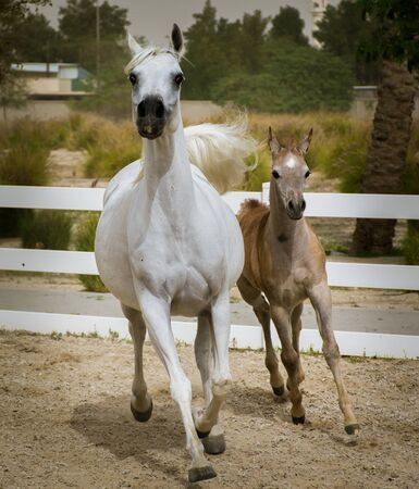 Arabian mare with foal running together on the sand surface of paddock. Baby horse enjoying the run following his mother.