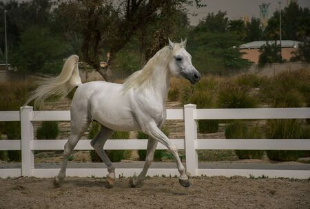 White Arabian stallion practicing and enjoying the run in the horse training place in Bait Arab,Kuwait Banque d'images