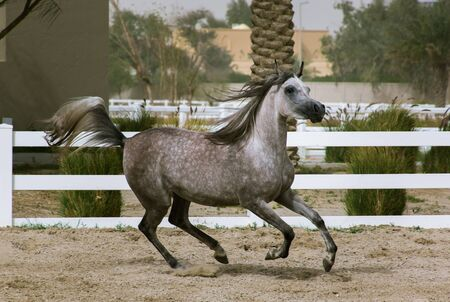Grey Arabian horse running with power on the sand surface in the bait al arab, Kuwait
