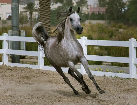 Dapple gray Arabian horse running in paddock on the sand surface of Bait Al Arab,Kuwait