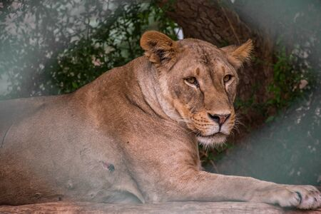 Lioness face is the main subject focused through the fences of cage Archivio Fotografico