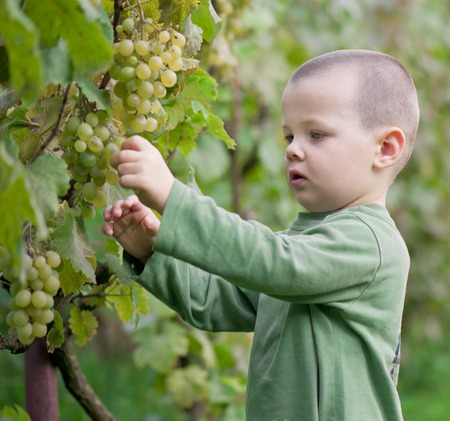 boy picked grapes in the winery