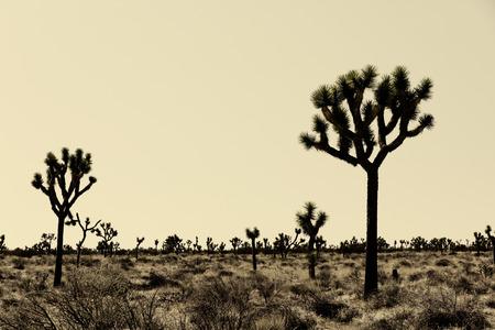 Joshua Trees