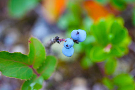 Berries In Montana
