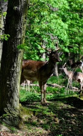 Fallow deer Stock Photo - 13446114
