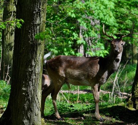 Fallow deer photo