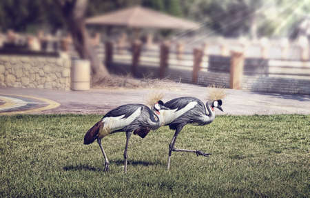 Black Crowned Crane  photo