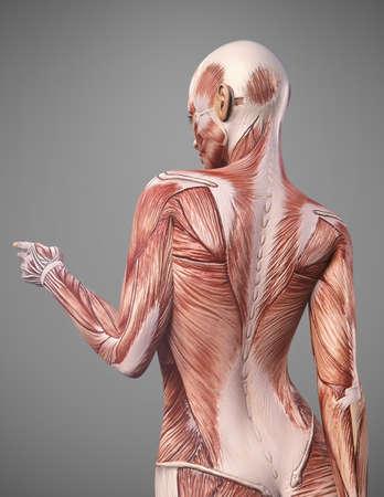 Rückenmuskelanatomie der Frau übertragen