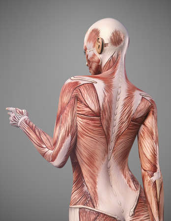 back muscle anatomy of woman render Stockfoto