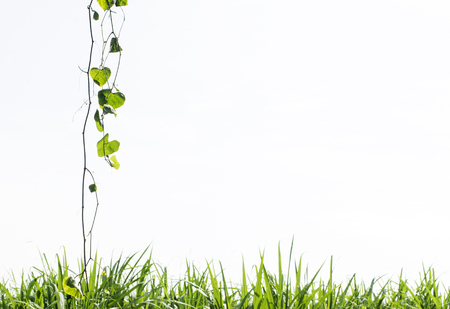 appendage: Heart shaped Green leaves and green grass isolated on white background Stock Photo