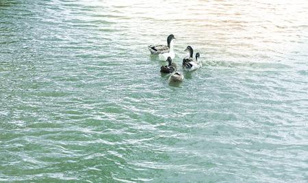 Ducks on a pond