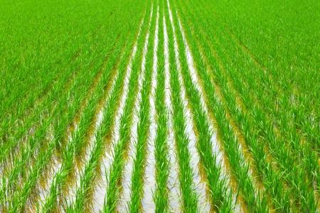 dry grass: Paddy Stock Photo
