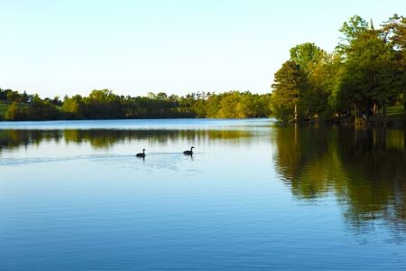 Wild canadian geese swimming in a pond photo
