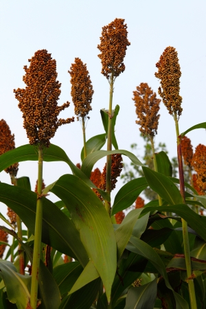 sorghum  Stock Photo - 15961357