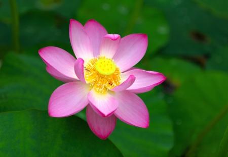 limbo: Blooming lotus flower