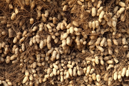 goober peas: Peanut pile