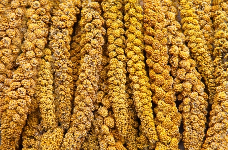 In the early autumn season  Maturing millet