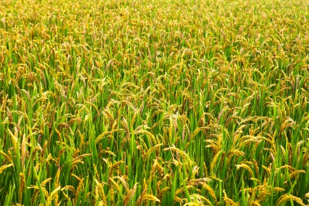 rice plant: paddy rice in field  Stock Photo