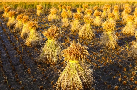 rice plant: Rice harvest