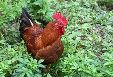 cock  Stock Photo - 16687782