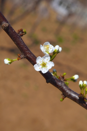 Pear in early spring photo