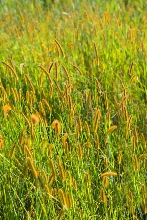 bristle: Bristle grass
