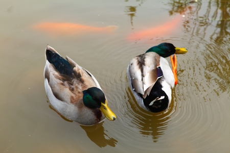 Ducks are swimming in the pond Stock Photo - 17041717