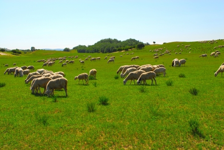on pasture: Sheep in a Green Field