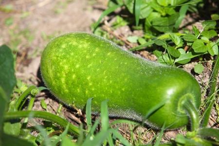 winter melon
