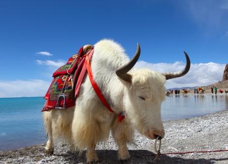 Yaks auf der Namtso See in Tibet Standard-Bild