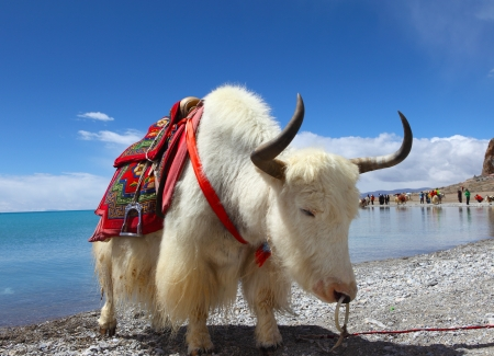 Yaks on the Namtso Lake in Tibet  photo