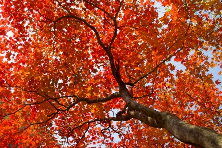 fall red maple forest background  photo