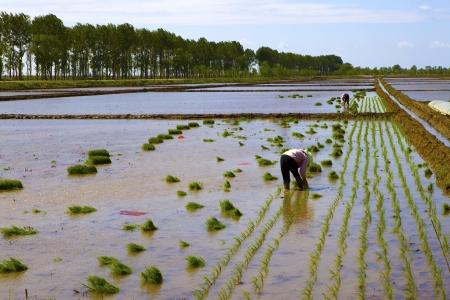 Rice planting photo