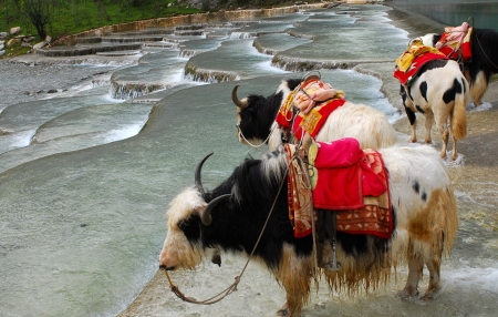 Yaks on the Namtso Lake in Tibet  Stock Photo