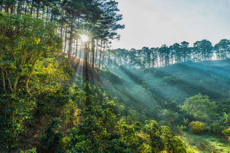 i beam: Ray of sunshine early in Da Lat pine forest on a morning when I happened to pass through the pine forests on the hills, the ray beam through great. Stock Photo