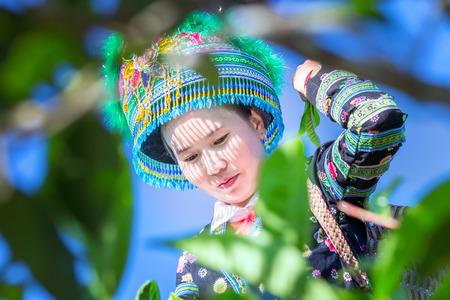 vestidos de epoca: Yen Bai, Vietnam - September 24th, 2015: the charm of the woman bent down to pick tea and put the tea into the basket behind on a fall morning in Suoi Giang, Yen Bai, Vietnam