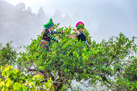 Yen Bai, Vietnam - September 24th, 2015: Two young women tea pickers nation put in baskets over 300 years old tea trees in autumn morning in Suoi Giang, Yen Bai, Vietnam